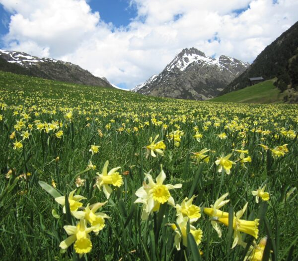 Valley of Daffodils