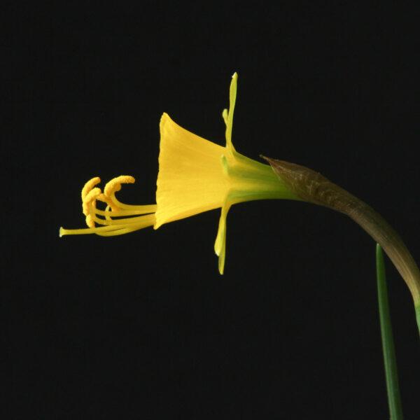 Narcissus bulbocodium var ectandrus