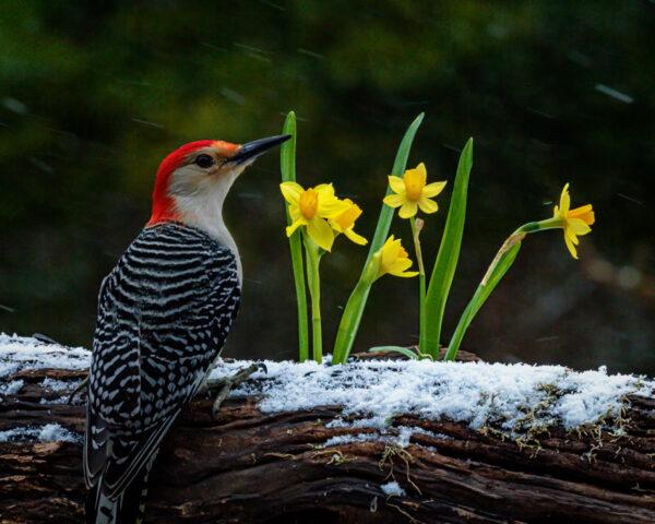Woodpeckers Like Daffodils too!